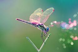 psychothérapie-libellule